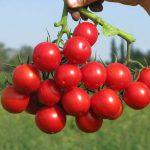 tomaten-sakura-enza