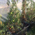 gemuesebau-tomaten-04