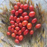 gemuesebau-tomaten-11