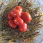 gemuesebau-tomaten-12