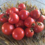 gemuesebau-tomaten-15