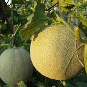 bio-honig-melone